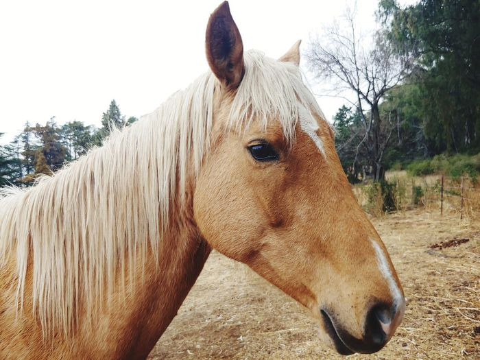 Horse Horse Head Horse Photography  Tree Pets Sand Horse Paddock Sky Close-up Livestock Pony Mane Hoofed Mammal Working Animal Ranch Animal Pen Adult Animal