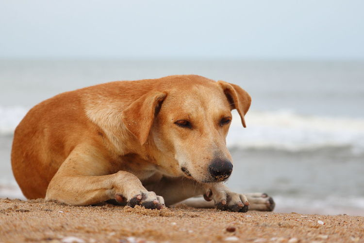 Dog lying on the beach