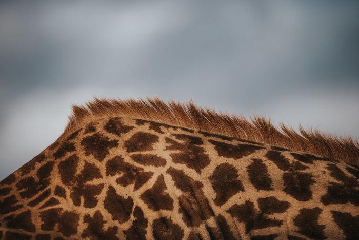 Abstract Africa Animal Themes Close-up Dusk Giraffe Golden Hour Hair Kenya Mammal Nature No People Outdoors Pattern Patterns In Nature Safari Safari Animals