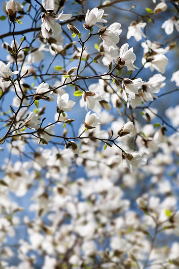 White Magnolia spring bloom flowers bunch, lush flowering plant on blue sky growing in garden in Poland, vertical orientation, nobody. Bloom Blooming Blossom Blossoming  Blossoms  Flower Flowering Flowers Magnolia Magnoliaceae Magnolias Nature Nature No People Plant Spring Springtime Tree Twig White