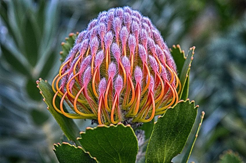 Beauty In Nature Cape Town Close-up Day Flower Focus On Foreground Fragility Freshness Garden Growth Kirstenbosch National Botanical Garden Nature No People Outdoors Petal Plant Protea Protea Blossom Protea Flower Selective Focus