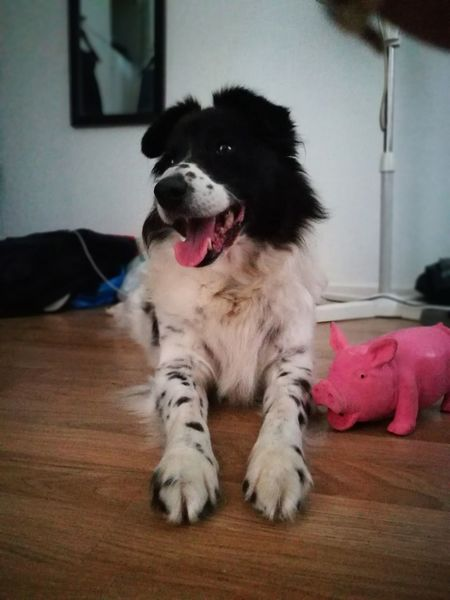 Lie Dog Domestic Animals Doggo Old Pig Border Collie Happy Relaxing No People Portrait Indoors  Animal Themes Day EyeEm Ready