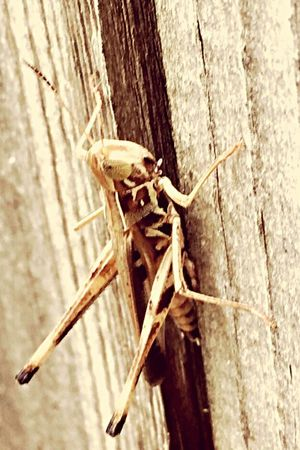 Insect Wildlife Grasshopper Close-up
