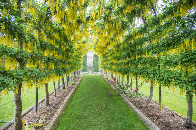 Dunedin, Otago, New Zealand-December 12,2016: Perspective of the Laburnum Arch in garden by Larnach Castle in Dunedin, New Zealand Flowering Plant Garden Path Golden Rain Arch Beauty In Nature Dangling Diminishing Perspective Flower Footpath Formal Garden Garden Golden Chain Golden Rain Tree Grass Green Color Growth In A Row Laburnum Larnach Castle Leaf Ornamental Garden Pathway Plant Treelined Yellow
