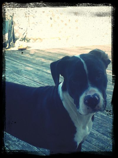6 month old cane corsa mixed wit a pit for sale like if yur intrested!