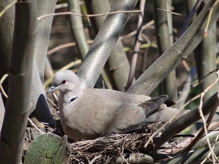 A pigeon nest