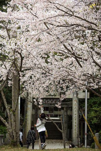 April Japanese Shrine Cherry Blossom Flower Blossom Springtime Cherry Tree Japanese Cherry Blossoms Fukuoka-shi Fukuoka Fukuoka City  Beauty In Nature Fukuoka,Japan