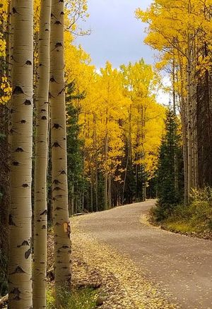 Bachelor Loop Autumn Beauty In Nature Day Forest Growth Landscape Nature No People Outdoors Road Scenics Sky The Way Forward Tranquil Scene Tranquility Tree Tree Trunk Yellow