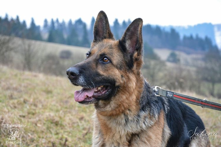 Stella again :) Cute Photo Photography Dog Animal Dog Walking Doglover Shelter German Shepherd Beautiful