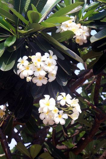 Chafa flowers
