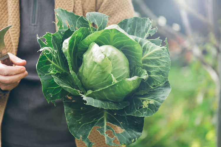 Agriculture Cabbage Close-up Cropped Day Focus On Foreground Freshness Green Color Growth Healthy Lifestyle High Angle View Holding Kale Leaf Lifestyles Nature Part Of Person Plant Sustainable Unrecognizable Person