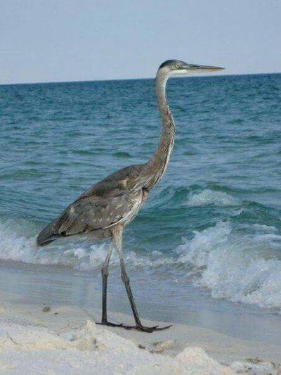 Sea Bird Water Animal Wildlife Animals In The Wild One Animal Beach Horizon Over Water Heron Nature Gray Heron Blue No People Outdoors Day Ostrich Animal Themes Pelican Sky