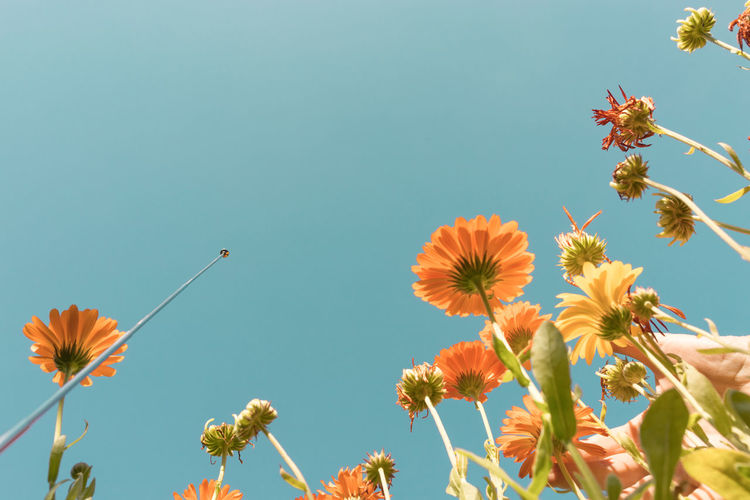 Low angle view of flowers blooming against clear sky