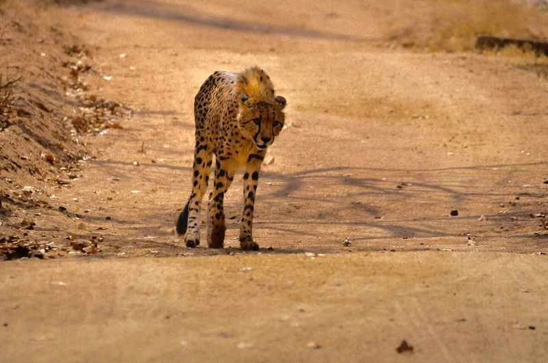 One Animal Animal Themes Animals In The Wild Wildlife Mammal Zoology Outdoors Safari Animals Day Cheetah Focus On Foreground Nature No People Looking Animal Markings Kruger Park Dangerous Animals Cat Family Chita Cheetah Nature Leopard Animals In The Wild