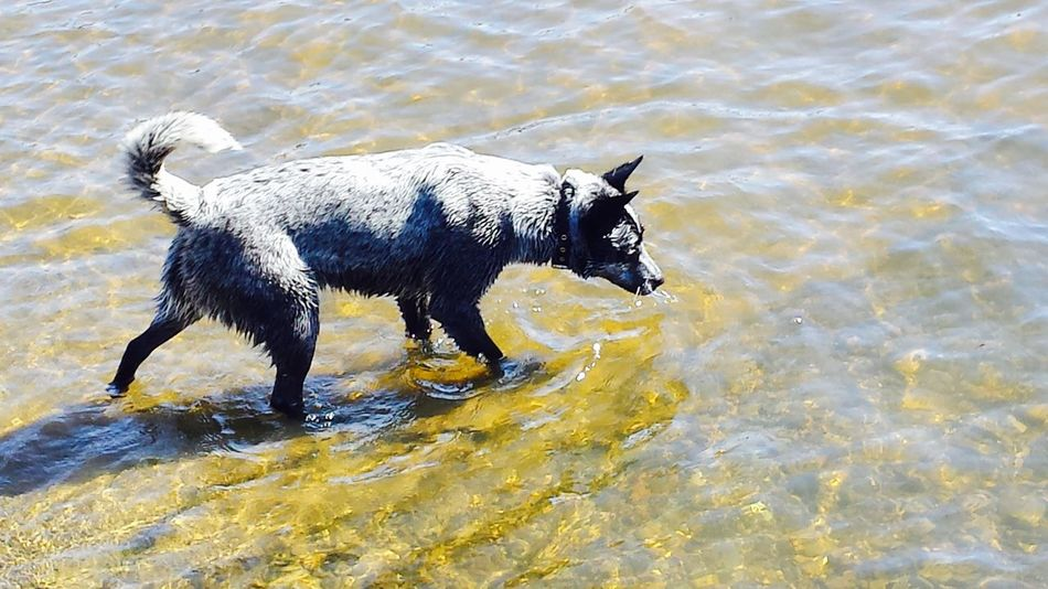 Animal_collection Animals Blue Heeler Colors Curiosity Dog Dogs Fun Love Outdoors Pets Summer2015 Tasmania Water Water Reflections