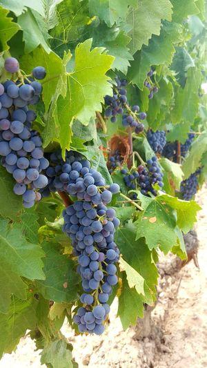 Vine - Plant
