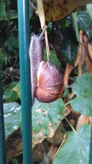 On The Rails Railings Going Up Mollusca Gastropoda Snails Pace Snail Photography Greenery Slimy Slimy Snails Nature Photography Nature_collection Nature On Your Doorstep Nature Snail Shell Snail Collection Snail Tentacles Grip Get A Grip Leaves Green Leaves