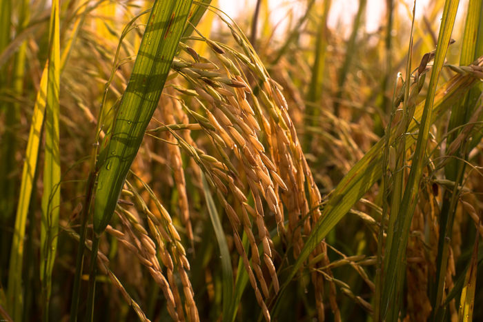 paddy rice malaysian paddy field close up paddy Malaysian Food Paddy Fields Paddy Rice Close Up Close Up Padd Food Malaysian Food And Drink Paddy Agriculture Paddy Field