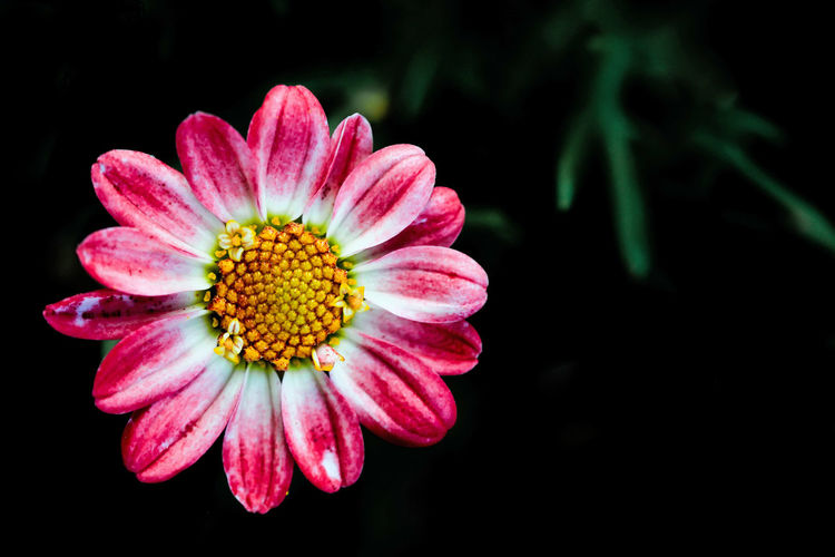 Flower Flowering Plant Flower Head Beauty In Nature Fragility Freshness Inflorescence Plant Vulnerability  Petal Close-up Growth Pink Color Pollen Black Background Studio Shot Yellow Daisy Daisy Flower Pink Petals Nature