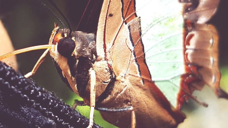 EyeEm Selects Insect Animal Themes Close-up Animals In The Wild No People Outdoors Nature Butterfly Butterfly - Insect Butterflies