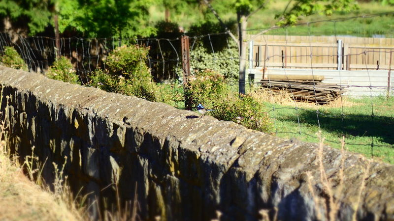 Blue Wren Countryside Day Green Nature No People Outdoors Stone Wall Sunlight