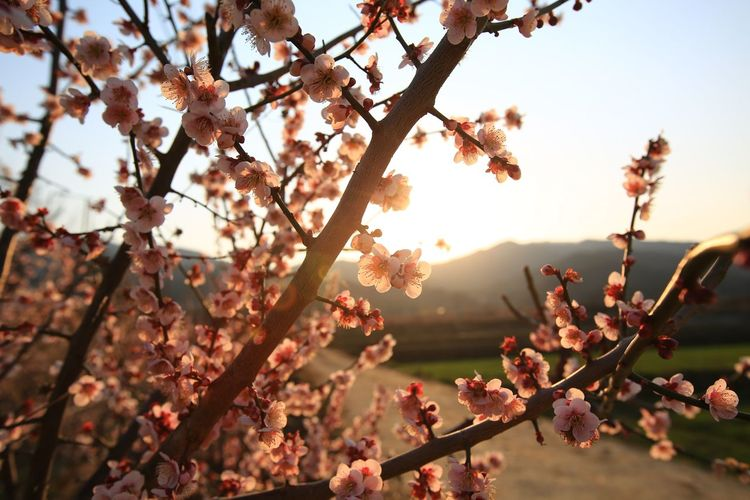 Cherry blossoms against sky