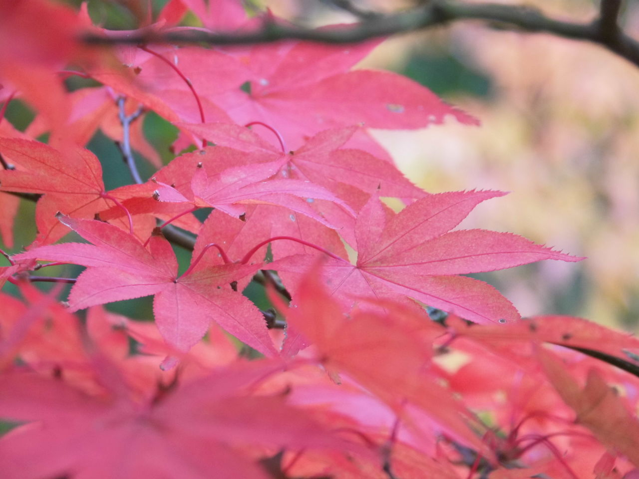 leaf, nature, beauty in nature, growth, outdoors, change, no people, day, close-up, fragility, maple leaf, autumn, plant, maple