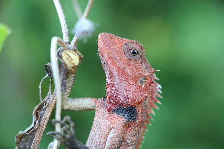 Close-Up Of Oriental Garden Lizard On Twig