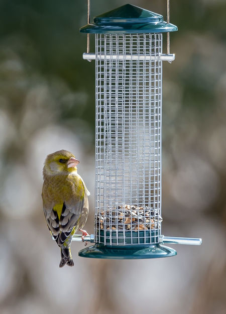 European greenfinch Bird Photography Birds Of EyeEm  European Greenfinch Grünfink Animal Themes Animal Wildlife Animals In The Wild Bird Bird Feeder Birds Chloris Chloris Food Nature No People Outdoors