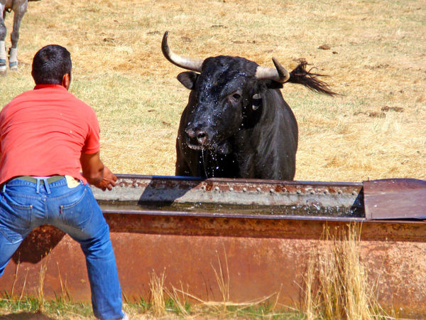 Animal Themes Bull Bullfighting Bulls Danger Dangerous Dangerous Animals Day Domestic Animals Festive Leisure Activity Mammal Man One Animal One Person Outdoors Person Real People Real Person Rear View Toro Toros Tradition Traditional