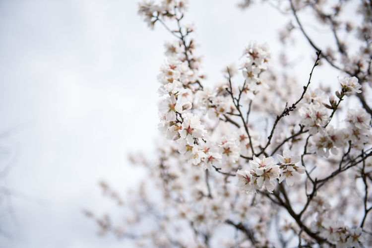 Flowering Plant Plant Flower Freshness Fragility Tree Blossom Cherry Blossom Growth Branch Nature Springtime Cherry Tree No People Outdoors Almond Tree Almond Blossom Blooming Beauty In Nature Vulnerability  White Color Day Focus On Foreground Close-up Low Angle View Flower Head Spring