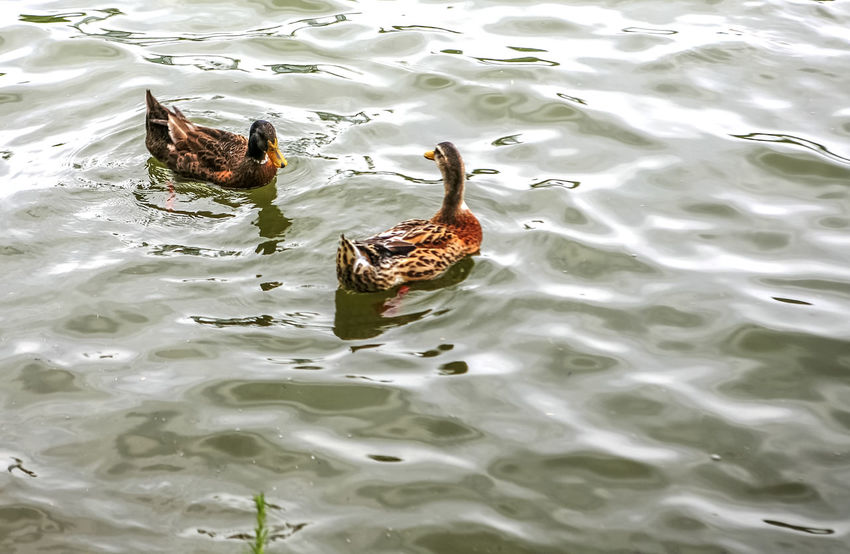 Animal Themes Animals In The Wild Bird Bundang Day Duck High Angle View Lake Mallard Duck Nature One Animal Outdoors Reflection Rippled Swimming Togetherness Two Animals Water Waterfront Wildlife Yuldong Park Zoology