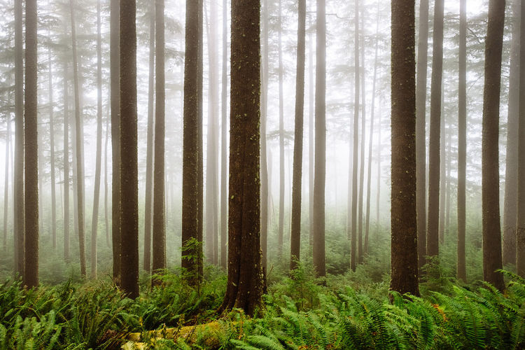 Fog in the forest, Western Oregon, 2015. Beauty In Nature Fern Fog Forest Forest Photography Landscape Mood Nature Nature Reserve No People Oregon Oregon Coast Outdoors Pacific Northwest  Scenics Tree Tree Area Tree Trunk Wilderness Area WoodLand