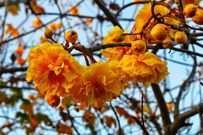 Cochlospermum Thailand, Yellow Flower Beauty In Nature Close-up Cochlospermum Regium Day Flower Flower Head Fragility Freshness Growth Nature No People Outdoors Yellow