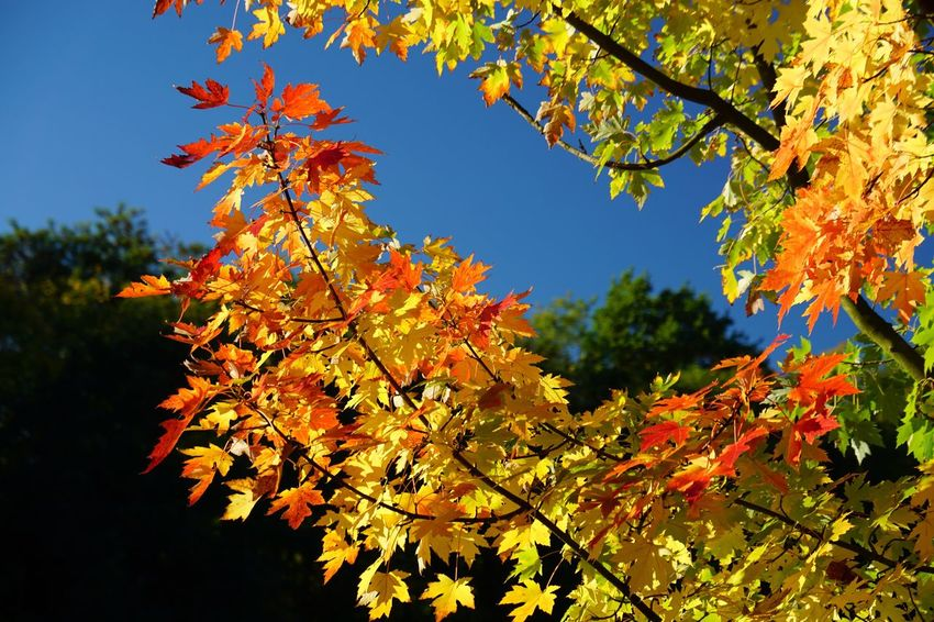 Leaf Autumn Tree Beauty In Nature Leaves Orange Color Growth Change Nature Maple Tree Maple Leaf Outdoors Branch Day No People Low Angle View Scenics Maple Close-up