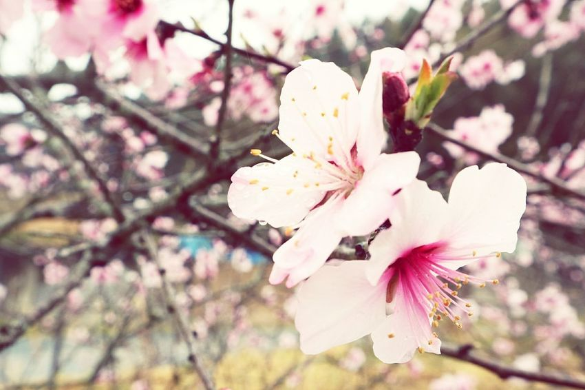 Flower Pink Color Nature Beauty In Nature Blossom Freshness Branch No People Cherry Blossom Plant Flower Head Nature Beauty In Nature 浜松 Springtime 桜 Fleur Japan