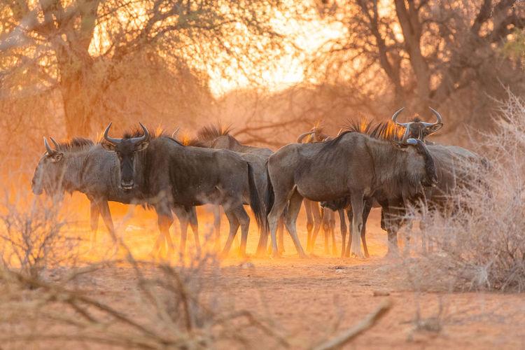 Wildebeests in forest