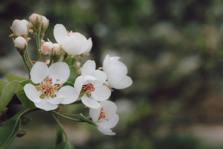 Cherry Blossoms Apple Blossom Beauty In Nature Blooming Blossom Branch Close-up Closeup In Nature Day Flower Flower Head Fragility Freshness Growth Nature No People Outdoors Petal Springtime Tree White Color