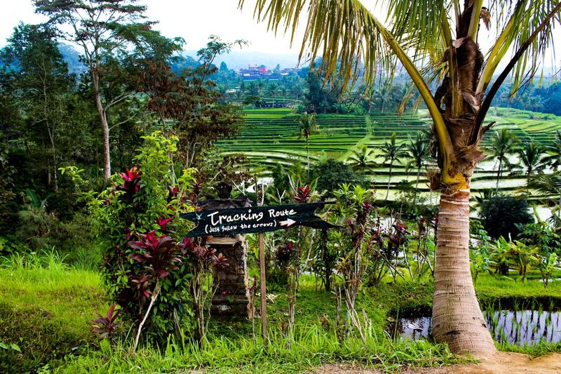The route Rice Cultivation Cultivated INDONESIA World Heritage Patrimonio Cultural Special Food Plant Tree Growth Green Color Nature Beauty In Nature Tranquility Scenics - Nature Tranquil Scene Garden