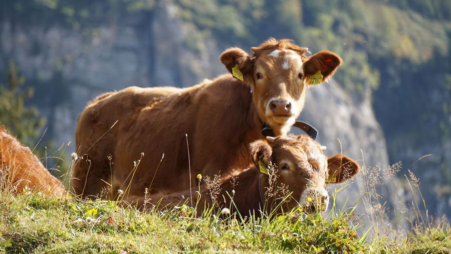 EyeEm Selects Animal Cattle Cow Grass Nature Mammal Meadow Outdoors Eyeem Switzerland Eye4photography  Jungfrau Travel Destinations Grass Rural Scene Bernese Oberland Looking At Camera Day Portrait No People Closing Collar