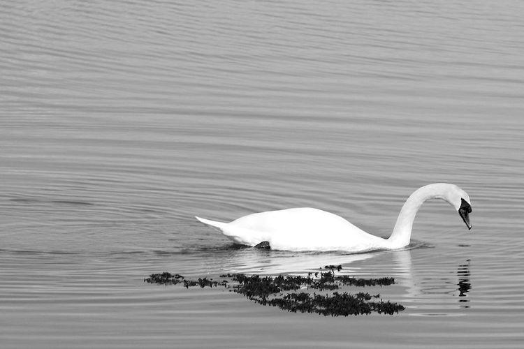Admiring The Reflection Animal Animals In The Wild Beauty In Nature Bird Blackandwhite Nature Swan Swimming Water Water Bird
