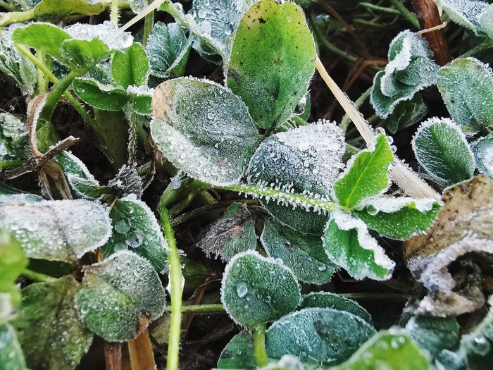 High angle view of frozen plants during winter