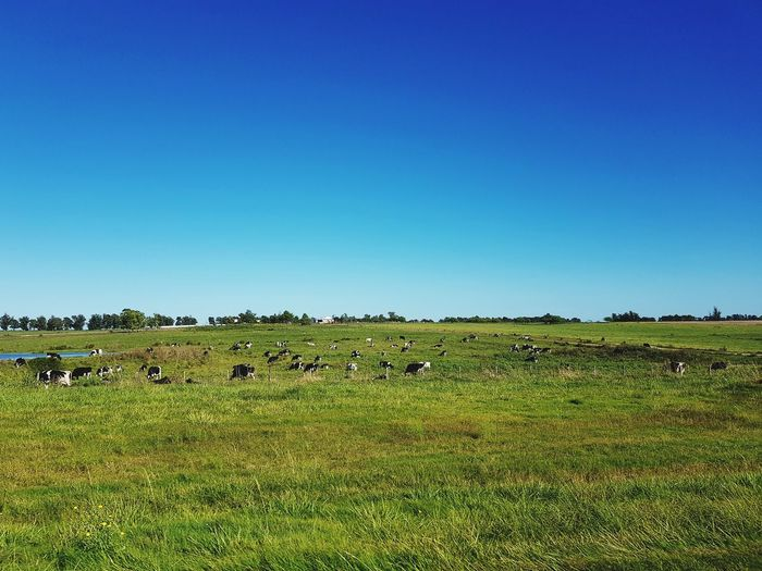 cow Rural Scene