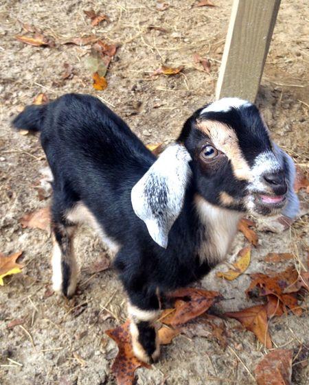 Serenitygoats Goat Farm Life Goatfarm Goat Life Baby Goats Goats Serenitygoats