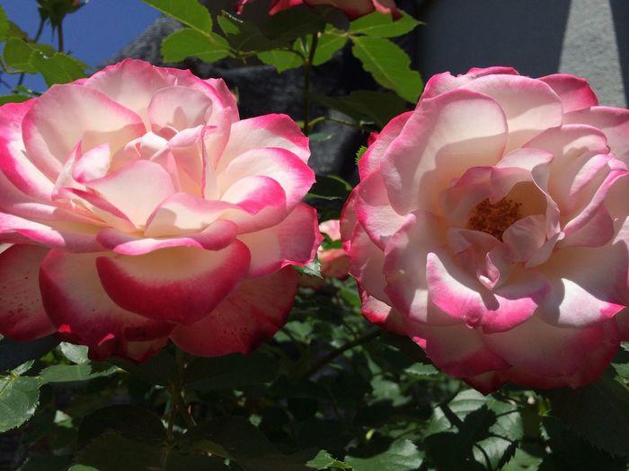 Flower 薔薇 ジュビレ デュ プリンス ドゥ モナコ My Home