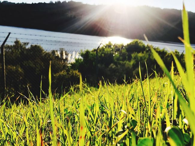 Sunlight Field Growth Nature Sun Rural Scene Crop  Sunbeam Agriculture Plant Beauty In Nature No People Outdoors Grass Close-up Macro
