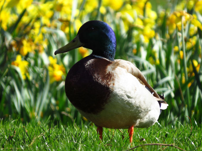 Animal Wildlife Animals In The Wild Vertebrate Animal Animal Themes Bird Duck Ducks Birds Bird Photography Birds Of EyeEm  Birds_collection Spring Springtime Spring Has Arrived Wild Duck Parklife Mallard Duck Mallard One Animal Drake  Plant Grass Nature Field Day Land Poultry Green Color Close-up No People Focus On Foreground Sunlight Outdoors Beak Springtime Decadence