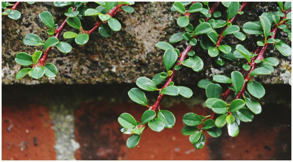 Growth Plant Leaf Green Color Nature Outdoors Freshness Fragility Close-up Vine - Plant Kirriemuir Countryside Scenics Beauty In Nature Wet Leaves Wall - Building Feature Cement Textured  Red Brick