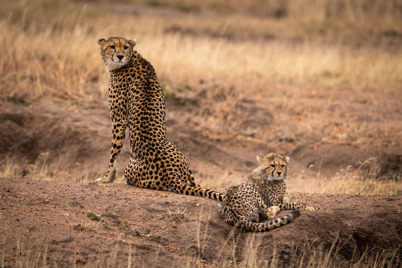 Africa Kenya Kicheche Wildlife Nature Travel Cheetah Acinonyx Jubatus Cat Big Cat Predator Feline Animal Animal Wildlife Animal Themes Animals In The Wild Mammal Group Of Animals No People Spotted Sitting Safari Carnivora Two Animals Relaxation Outdoors Undomesticated Cat Animal Family