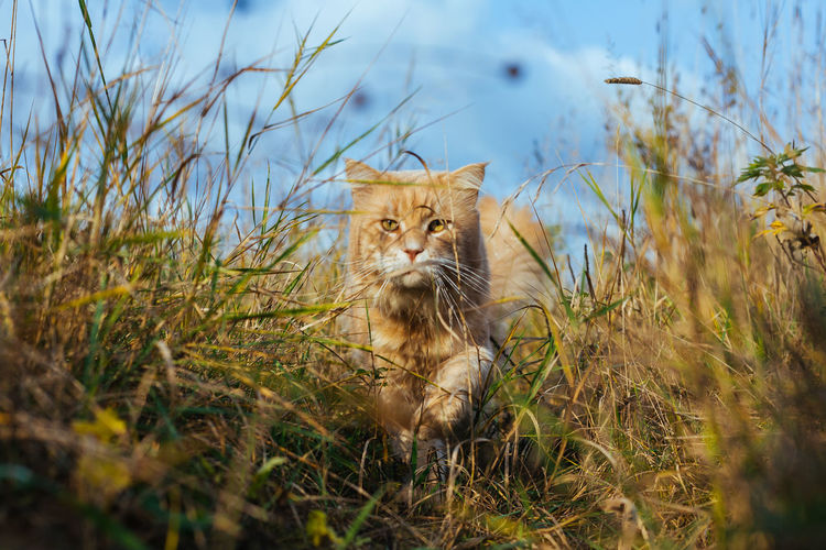Cat Hunting in the Grass Animal Themes Day Domestic Animals Domestic Cat Feline Grass Hunting Mammal Nature No People One Animal Outdoors Pets Plant Sitting Sky